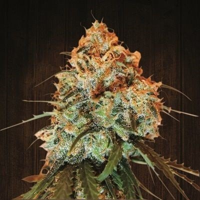 Golden Tiger feminized, ACE Seeds