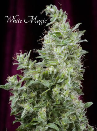 White Magic feminized, Mandala Seeds