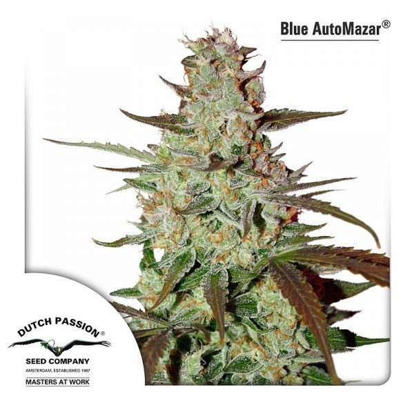 Auto Blue Mazar feminised, Dutch Passion