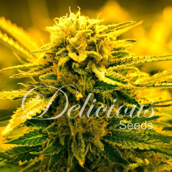 Auto Sugar Black Rose feminized, Delicious Seeds