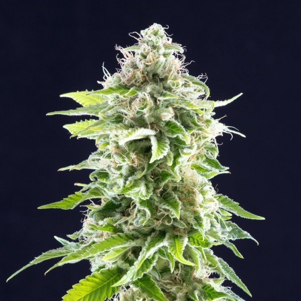 Cookies Haze feminized, Kannabia Seeds