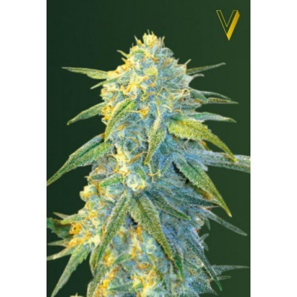 Auto Northern Light feminized, Victory Seeds
