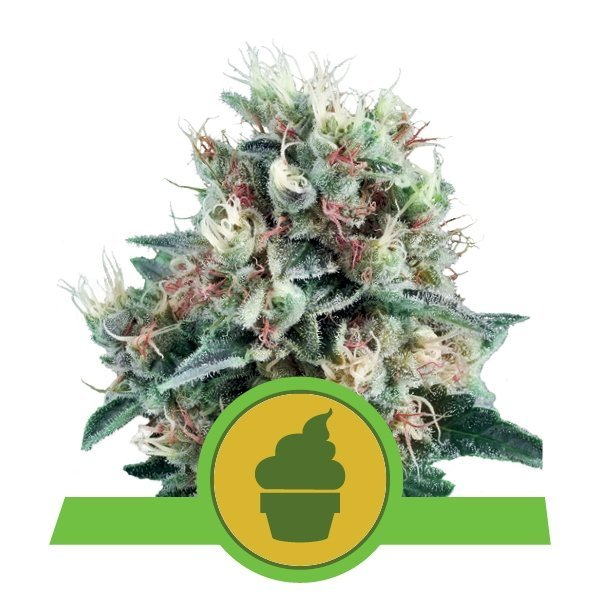 Auto Royal Creamatic feminized, Royal Queen Seeds