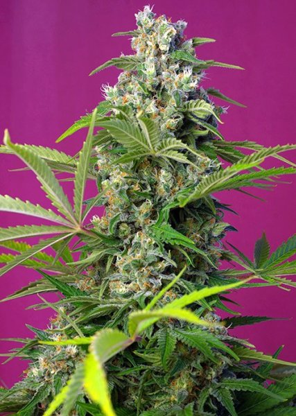 Gorilla Girl SWS74 feminized, Sweet Seeds