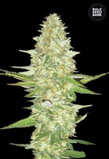 Perfect Power Plant feminized, Bulk Seed Bank